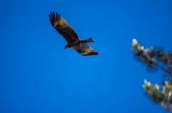 Schwarzmilan mit den verbreiteten Flügeln, die in blauen Himmel fliegen Lizenzfreie Stockfotografie