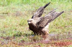 Schwarzmilan mit Flügeln hob bereites zu sich entfernen an Stockfoto