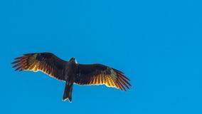 Schwarzmilan, verbreitete Flügel, die in blauen Himmel fliegen Stockfoto