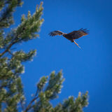 Schwarzmilan, verbreitete Flügel, die in den blauen Himmel über der Kiefer fliegen Stockfotografie