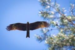 Schwarzmilan, verbreitete Flügel, die in den blauen Himmel über der Kiefer fliegen Lizenzfreies Stockbild