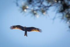 Schwarzmilan, verbreitete Flügel, die in den blauen Himmel über der Kiefer fliegen Stockfotos
