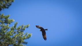 Schwarzmilan, verbreitete Flügel, die in den blauen Himmel über der Kiefer fliegen Lizenzfreie Stockfotos