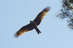 Schwarzmilan, verbreitete Flügel, die in den blauen Himmel über der Kiefer fliegen Lizenzfreie Stockfotografie