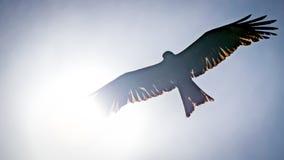 Schwarzmilan, verbreitete Flügel, die in den blauen Himmel über der Sonne fliegen Stockbilder