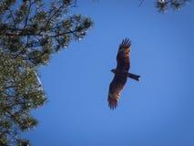 Schwarzmilan, verbreitete Flügel, die in den blauen Himmel fliegen Stockfotos