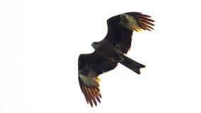 Schwarzmilan, verbreitete Flügel, die in den Himmel fliegen Lizenzfreies Stockfoto