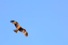 Schwarzmilanfliegen im blauen Himmel Lizenzfreie Stockbilder