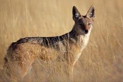 Schwarzrückiger Jackal im gelben Gras, Namibia Lizenzfreies Stockbild