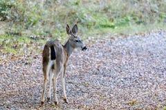 Schwarzschwanzige Rotwild im Alarm Lizenzfreies Stockbild