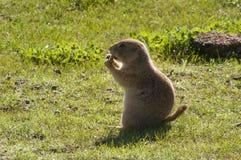 Schwarzschwanziger Grasland-Hund Stockfoto