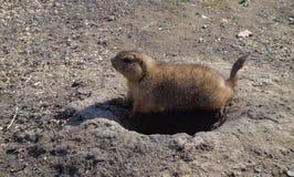 Schwarzschwanziger Grasland-Hund Lizenzfreie Stockfotografie