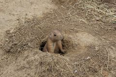 Schwarzschwanziger Grasland-Hund Stockfotografie
