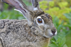 Schwarzschwanziger Hase, Lepus californicus Stockbilder