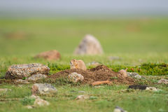 Schwarzschwanziger Präriehund (Cynomys ludovicianus) Stockfotos