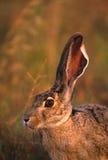 Schwarzschwanziges Hase-Portrait Lizenzfreie Stockfotografie