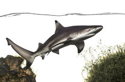 Schwarzspitzen-Riffhai-Schwimmen unter Wasserlinie, unter Anlagen lizenzfreies stockbild