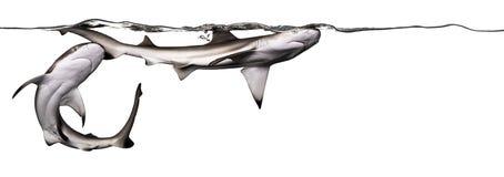 Schwarzspitzen-Riffhaie, die zusammen an der Oberfläche des wat schwimmen stockbilder