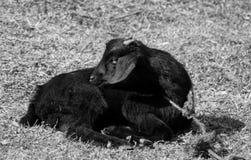 Schwarzweißaufnahme der schwarzen Ziege lizenzfreie stockfotografie