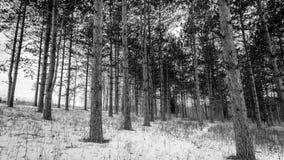 Schwarzweißbild eines Kieferwaldes im Winter Stockbilder