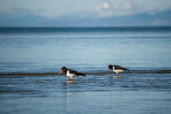 Schwarzweiss-Austernfischer Stockfotos