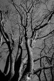 Schwarzweiss-Baum Lizenzfreie Stockbilder
