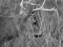 Schwarzweiss-Bild der Rotwild im Gras Lizenzfreie Stockbilder