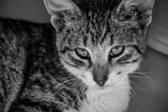 Schwarzweiss-Bild des Katzenkätzchens der getigerten Katze, das aufwärts der Kamera betrachtet stockbilder