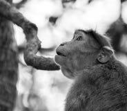 Schwarzweiss-Bild des Mützenmakakens sitzend auf einem Baum, der Seitenweisen schaut lizenzfreie stockfotografie