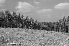 Schwarzweiss-Bild eines Bereichs mit den neuen Bäumen gepflanzt im Wald lizenzfreies stockfoto