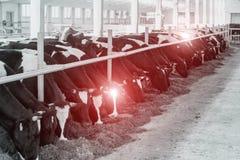 Schwarzweiss-Bild mit kranken Kühen, die in der Halle, Kuhkrankheiten, Epidemie stehen, Tierheilkunde lizenzfreie stockbilder