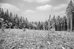 Schwarzweiss-Bild von eben gepflanzten Kiefern und von großen Kiefern lizenzfreie stockfotografie