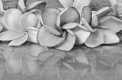 Schwarzweiss-Bild von Plumeriablumen schließen oben Stockbilder