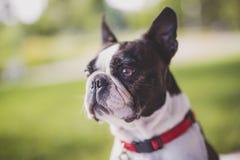 Schwarzweiss--Boston Terrier, das ein rotes Geschirr trägt Lizenzfreies Stockbild