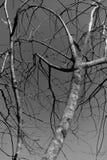 Schwarzweiss--branchs Lizenzfreies Stockbild