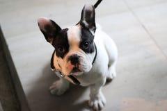 Schwarzweiss-Bulldogge lizenzfreie stockfotos