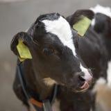 Schwarzweiss--calfs in den Scheunenblicken Lizenzfreie Stockfotos