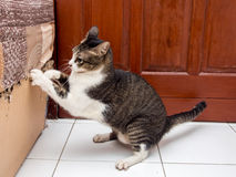 Schwarzweiss--Cat Scratching Lizenzfreie Stockfotos