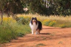 Schwarzweiss-Colliehund, der auf die Straße geht Lizenzfreies Stockfoto