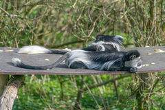 Schwarzweiss-Colobus-Affe Stockbilder