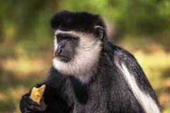 Schwarzweiss-Colobus-Affe, der bei Elsamere, See Naivasha, Kenia isst u. aufpasst Lizenzfreie Stockbilder