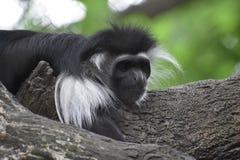 Schwarzweiss-Colobus-Affe, der in Raum anstarrt Lizenzfreies Stockbild