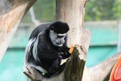 Schwarzweiss-Colobus, der eine Orange isst Stockbilder