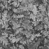 Schwarzweiss-Eiche Stockfoto