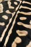 Schwarzweiss-Farbe auf der Rückseite eines Zebras Stockfotografie
