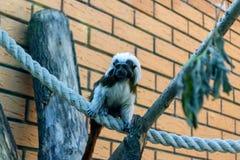 Schwarzweiss-Farbkleiner Affe Ödipus-Tamarin Stockbild