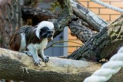 Schwarzweiss-Farbkleiner Affe Ödipus-Tamarin Stockbilder