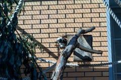 Schwarzweiss-Farbkleiner Affe Ödipus-Tamarin Stockfotografie