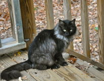 Schwarzweiss--Feral Cat Lizenzfreies Stockfoto