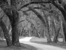 Schwarzweiss-Foto des Mooses bedeckte Bäume stockbilder